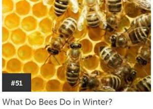 Bees in Winter Wonder
